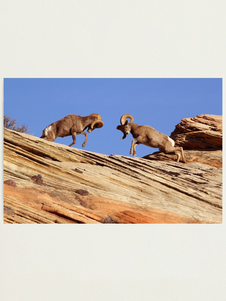 Alternate view of Bighorns Battling in Red Rock Country Photographic Print