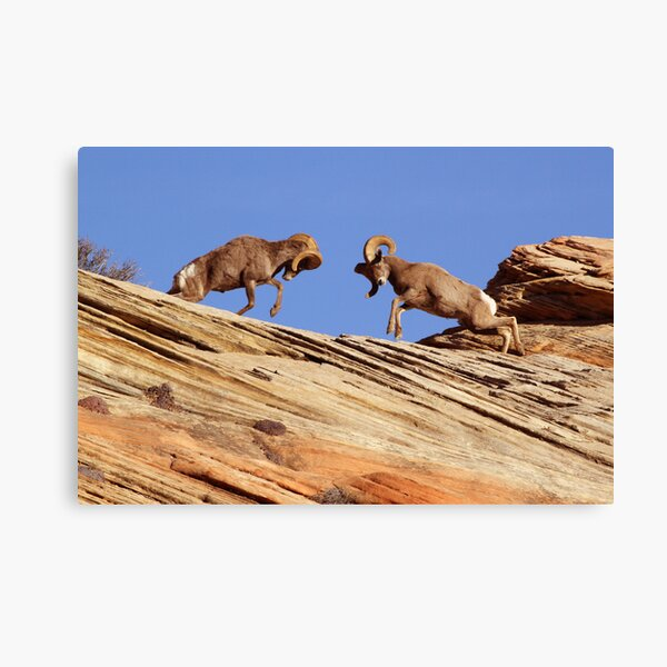 Bighorns Battling in Red Rock Country Canvas Print