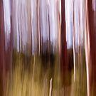 Karri Trees, Margaret River, Western Australia by Greg66