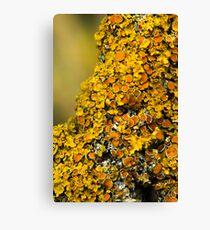 Lichen (could be Xanthoria polycarpa Canvas Print