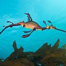 Weedy Seadragon by Andrew Newton