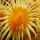 Yellow Zooanthid by Andrew Newton