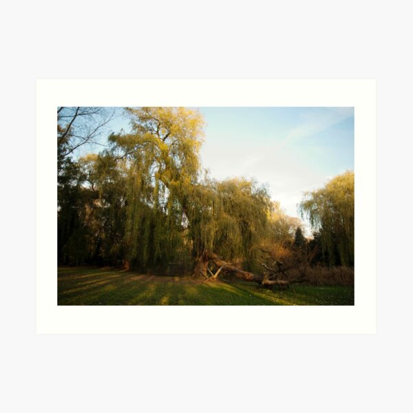 Weeping willow with broken wing Art Print