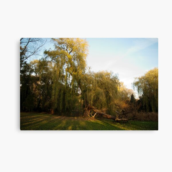 Weeping willow with broken wing Canvas Print