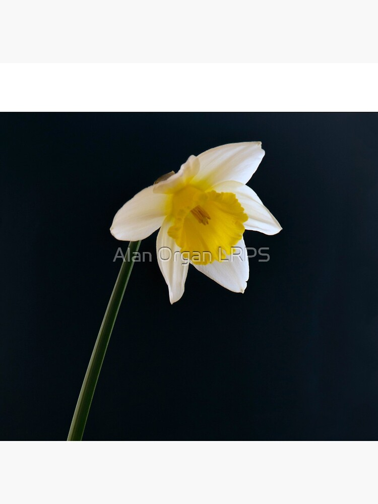 Flowers From The Darkfield - Daffodil by AlanOrgan