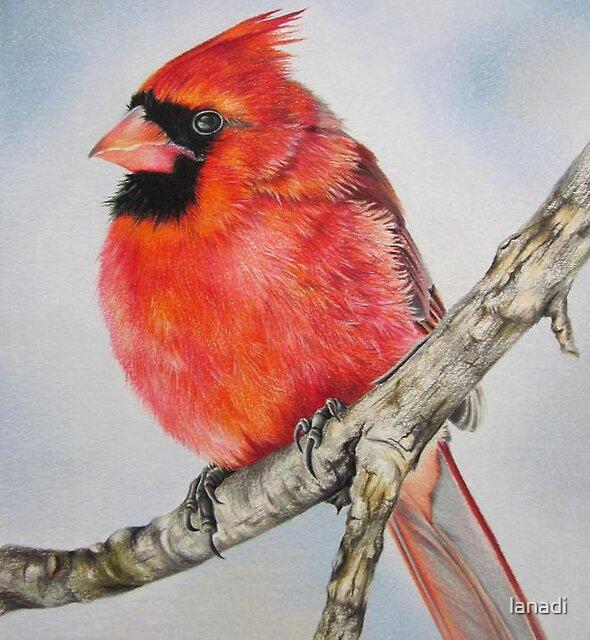Winter cardinal by lanadi