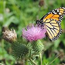 Butterfly on thistle by AlyxDellamonica