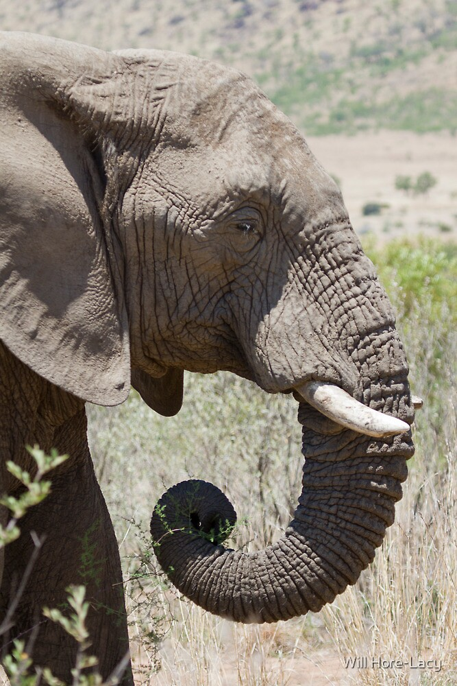 Quot Elephant Profile Quot By Will Hore Lacy Redbubble