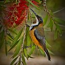 Eastern Spinebill at Cleland by Barb Leopold