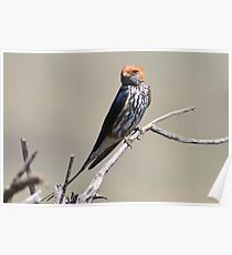Lesser Striped Swallow Poster