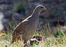 Natal Spurfowl by Will Hore-Lacy