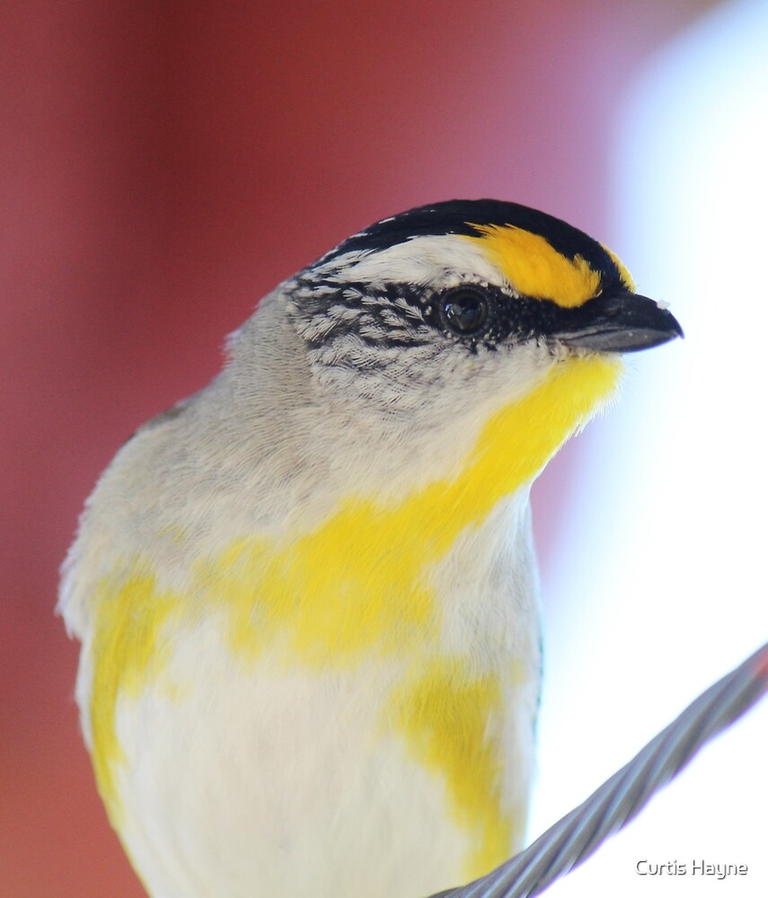 Striated Pardalote portrait by Curtis Hayne
