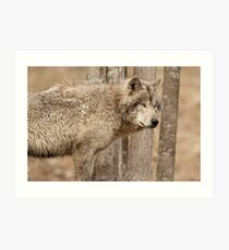Wolf in Camo Art Print