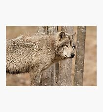 Wolf in Camo Photographic Print