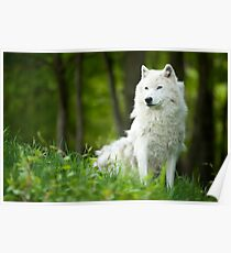 Arctic Wolf Shedding Winter Coat Poster