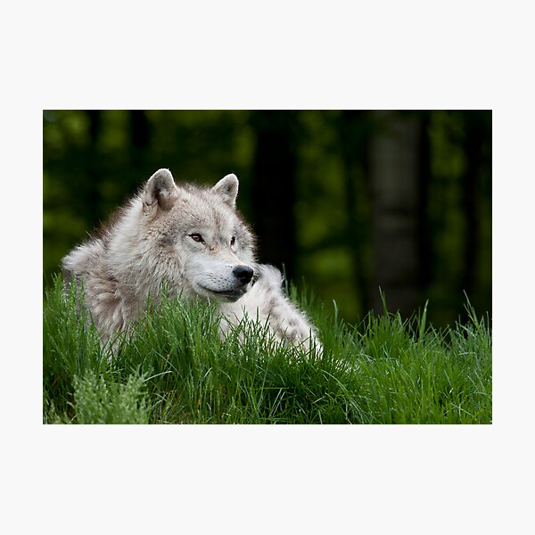Arctic Wolf in Spring Photographic Print
