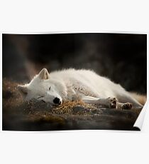 Tranquilty of the Arctic Wolf  Poster