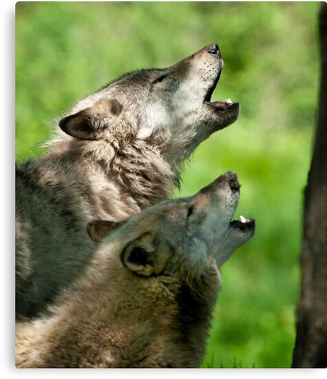 Timber Wolf Howl by Bill Maynard