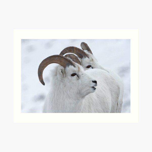 A Sheepish Smile Art Print