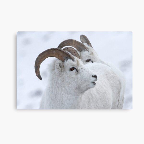 A Sheepish Smile Metal Print