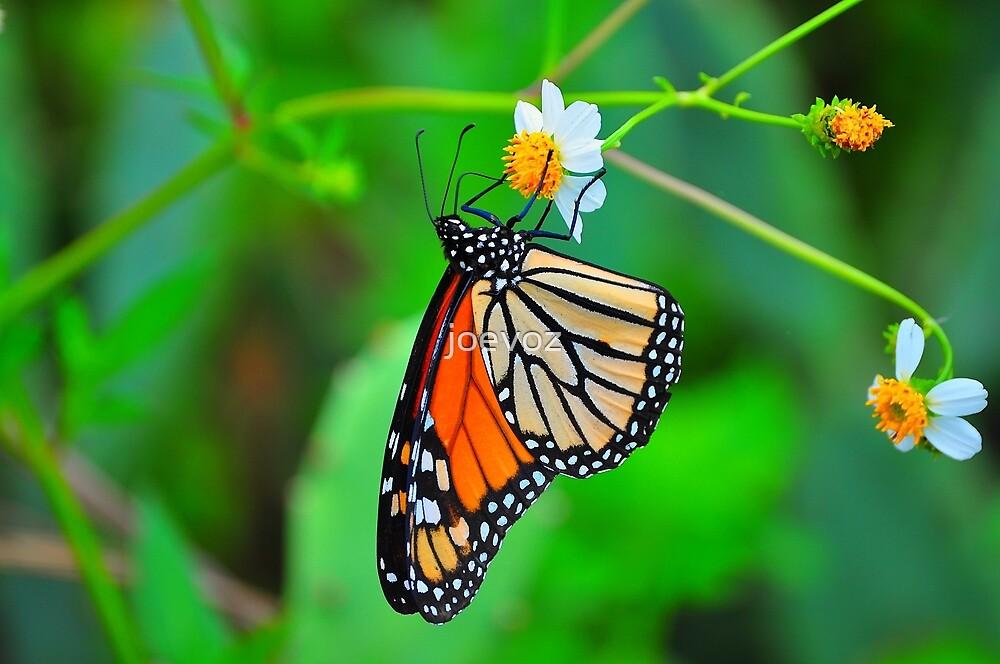 Butterfly by joevoz