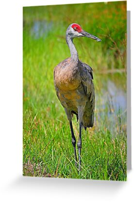 Sandhill Crane by the Water. by joevoz