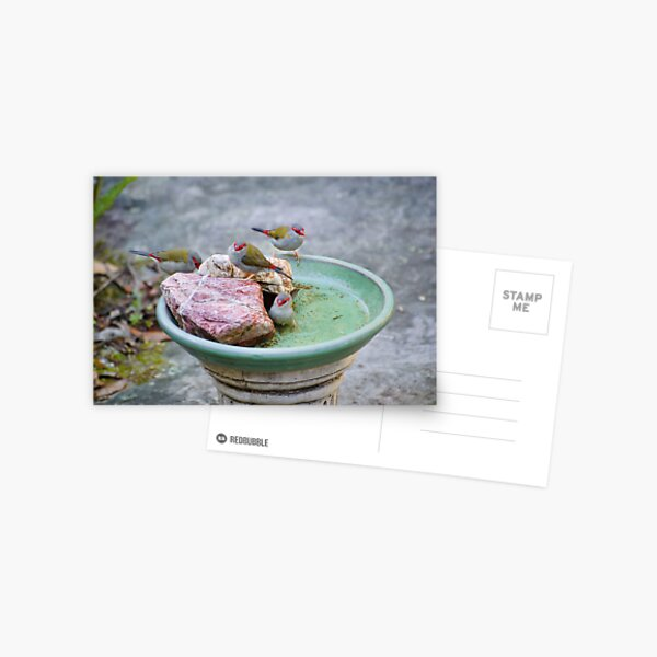 Red-browed Finches Postcard