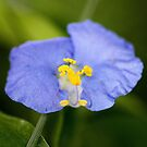 Blue wild flower by cathywillett