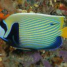 Emperor angelfish - Pomacanthus imperator by Andrew Trevor-Jones