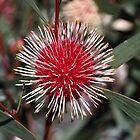Pincushion Hakea by Joy Watson