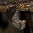 Fruit bat by daveashwin