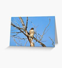Red-tailed Hawk - Buteo jamaicensis Greeting Card
