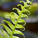 Green Fern by Ross Jardine