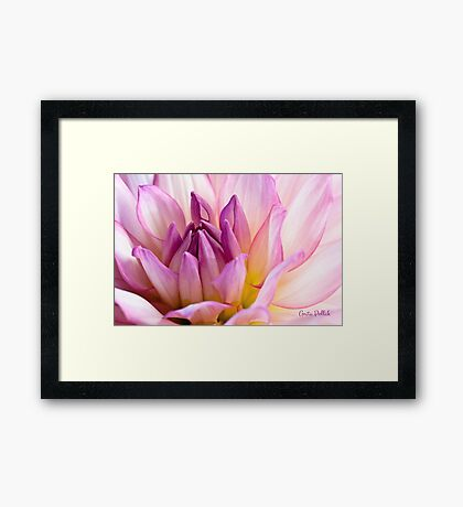 Pink Dahlia 2 Framed Print
