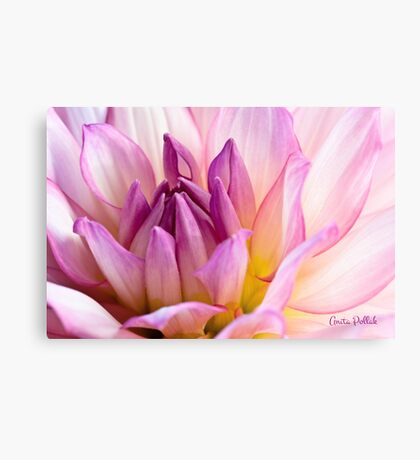 Pink Dahlia 2 Canvas Print
