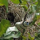 Double barred finch nest building by Paul  Donaldson