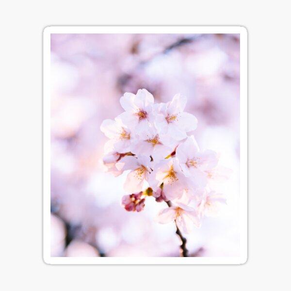 Sakura - douceur de fin de journée Sticker