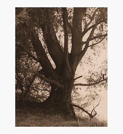 Tree on Foggy Rhine - Sepia Photographic Print