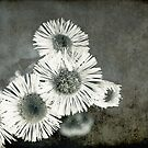 Miniature Daisies  by Kathy Nairn