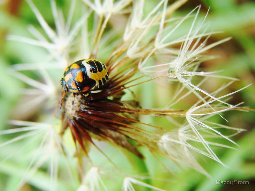 Insect on Dandelion by Maddy Storm