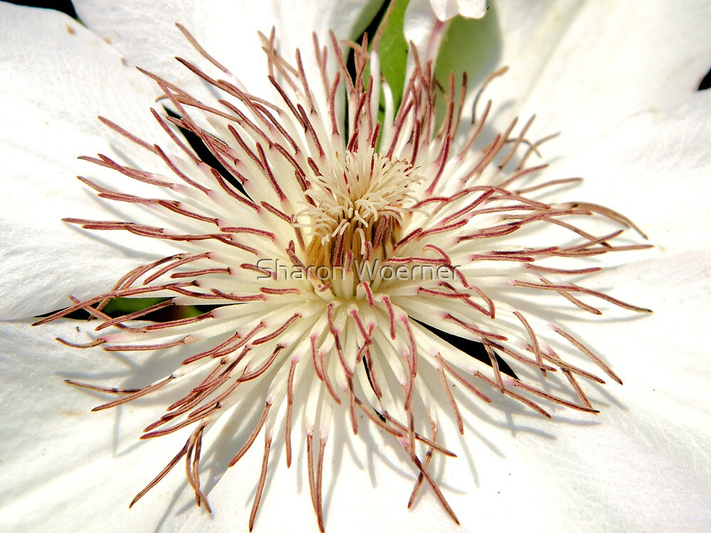White Clematis by Sharon Woerner