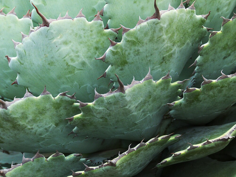 Agave, 2 by tenzil