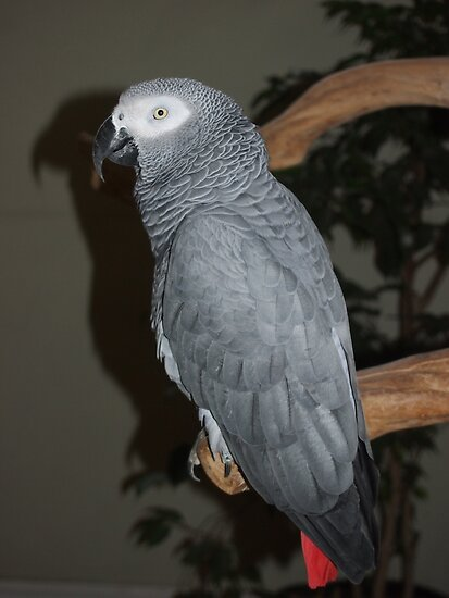 African Grey by Rebecca Reist