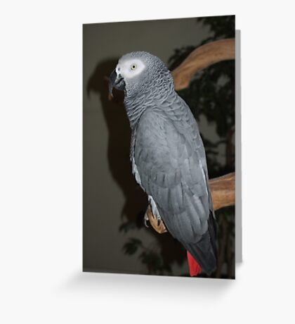 African Grey Greeting Card