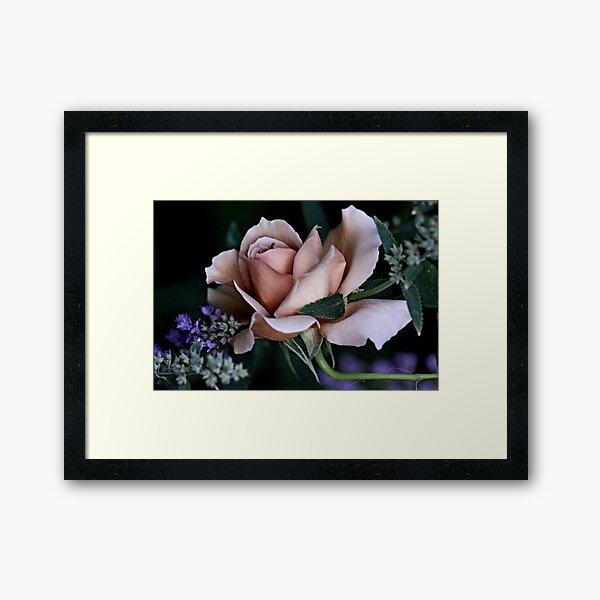 'Julia's Rose & Nepeta...' Framed Art Print