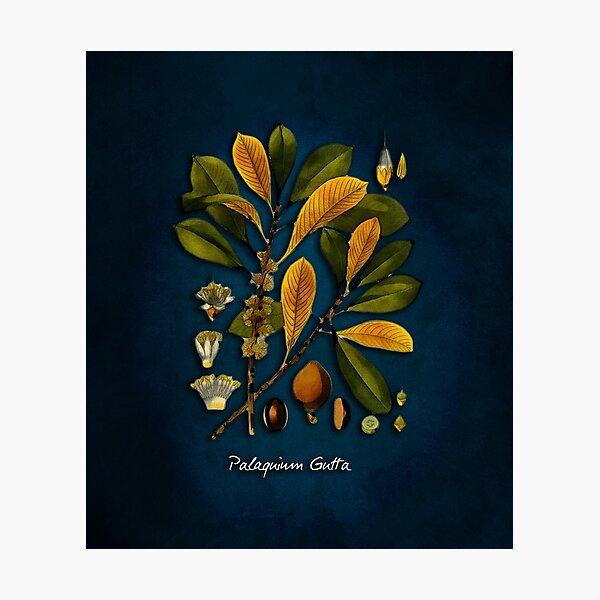 tree Palaquium gutta Photographic Print