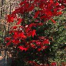 Scarlet Leaf Drops by cishvilli