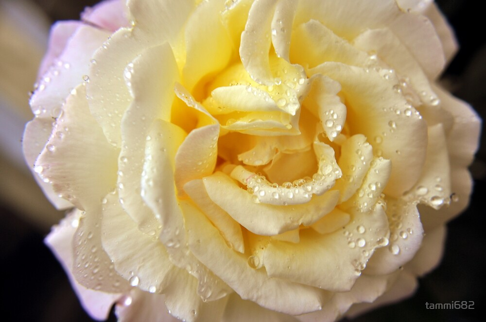 Summer Rose by Tammy Howe