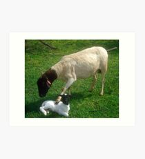 Dorper mother comforting her snow white newly born lamb, Kameeldrift, Pretoria Art Print