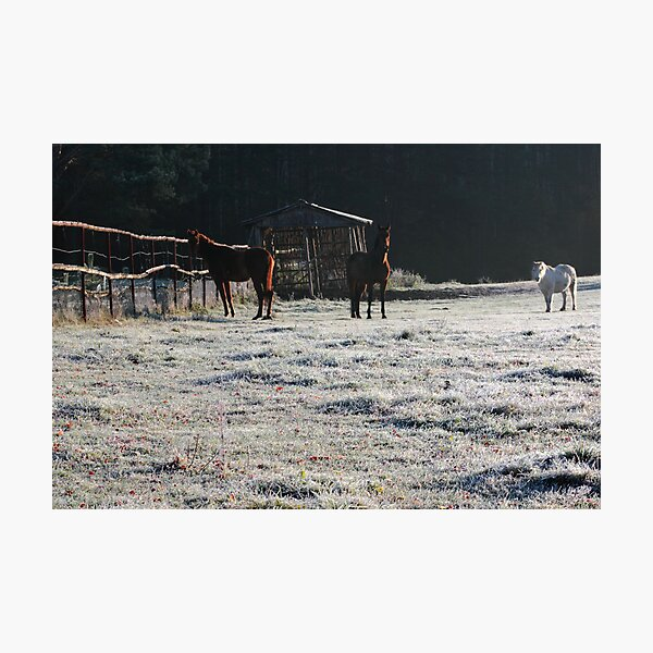 Horses in frosty day Photographic Print